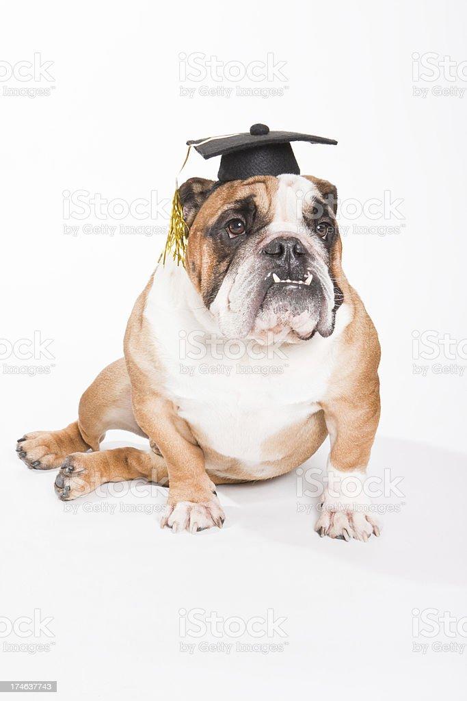 Brawny Bulldog Graduates from School royalty-free stock photo