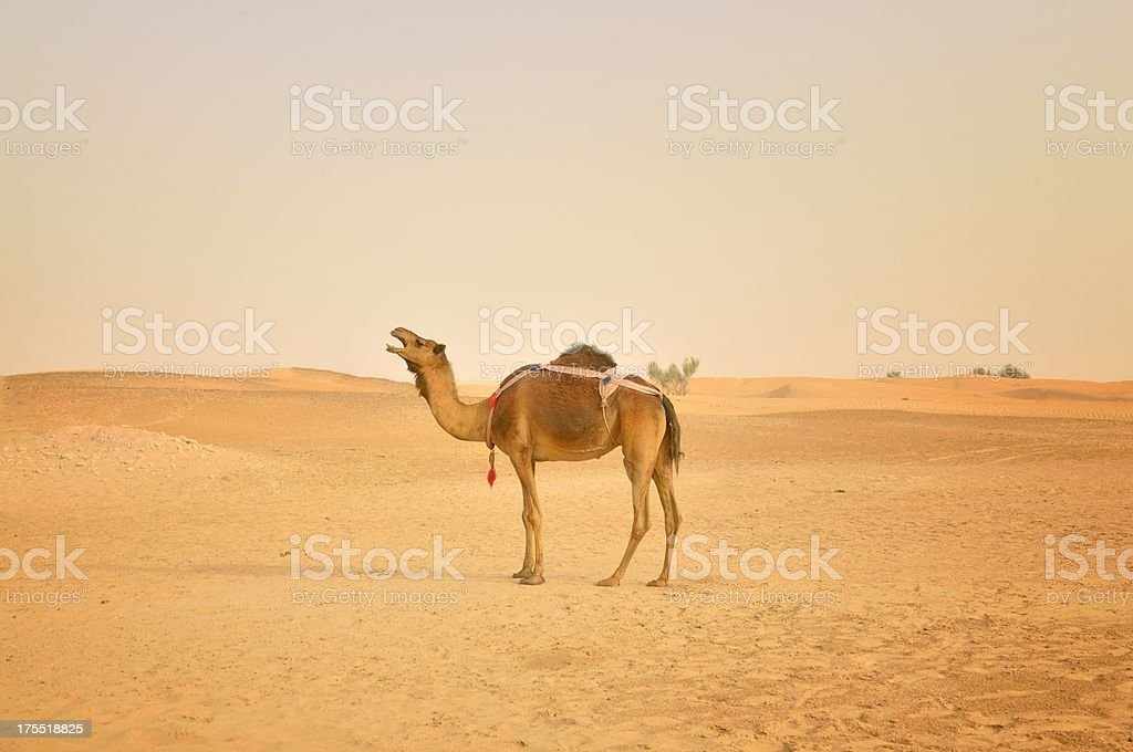Braying Camel stock photo