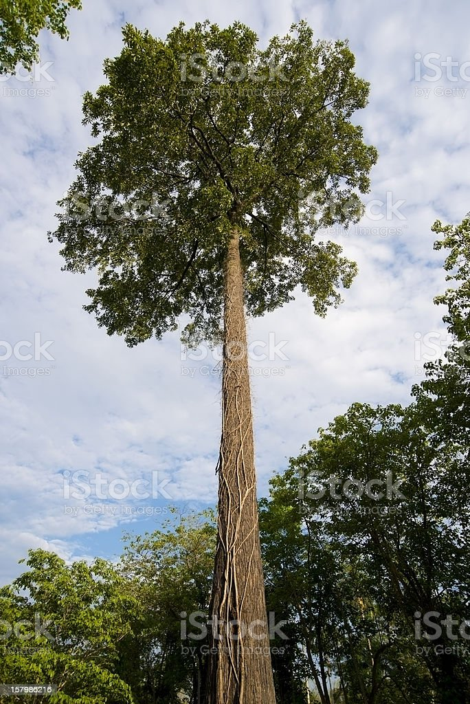 Castanha-do-Pará Tree (Bertholletia excelsa) - foto de acervo