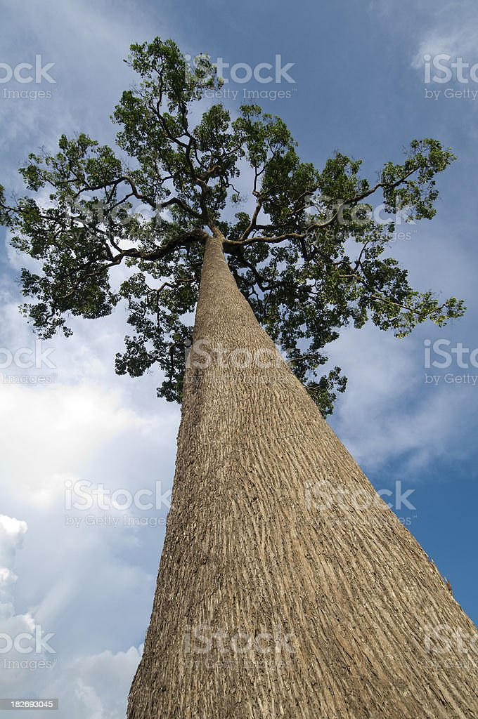 Brazil nuts tree stock photo