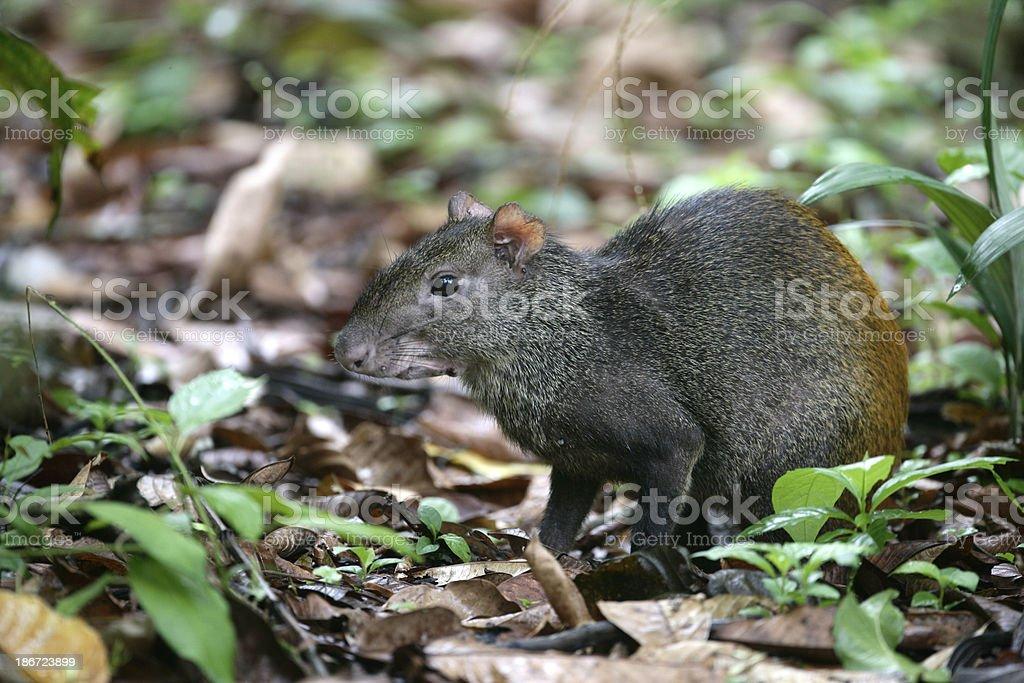 Brazilian agouti, Dasyprocta leporina stock photo