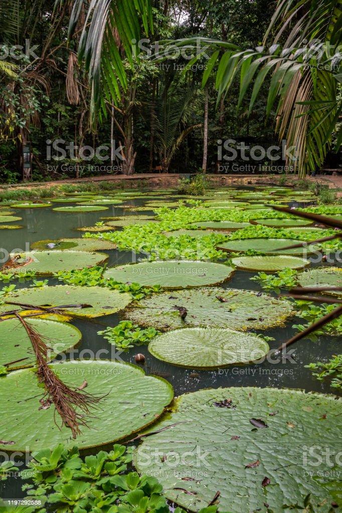 Brazilian Amazon Vitória Régia, planta aquática tipica da região amazônica. Manaus, Amazonas, Brasil. Amazon Region Stock Photo