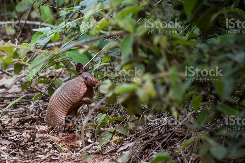 Brazilian armadillo stock photo