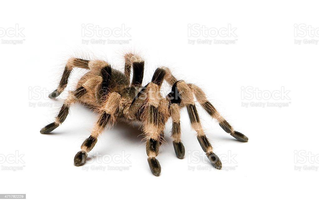 Brazilian black and white tarantula spider royalty-free stock photo