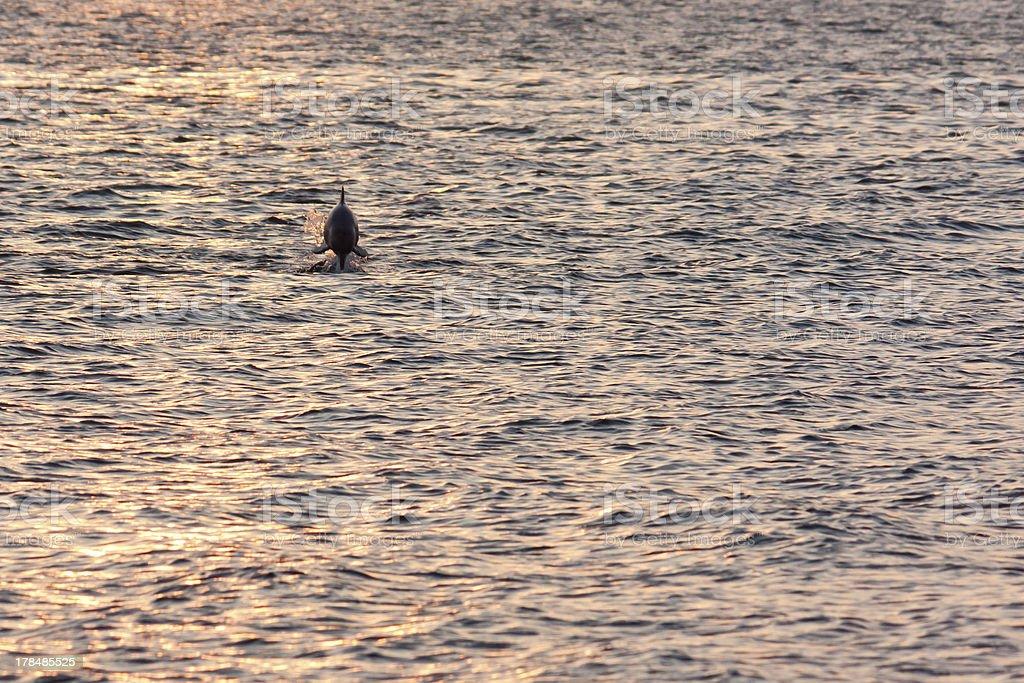 Brasilianische Boto Dolphin – Foto