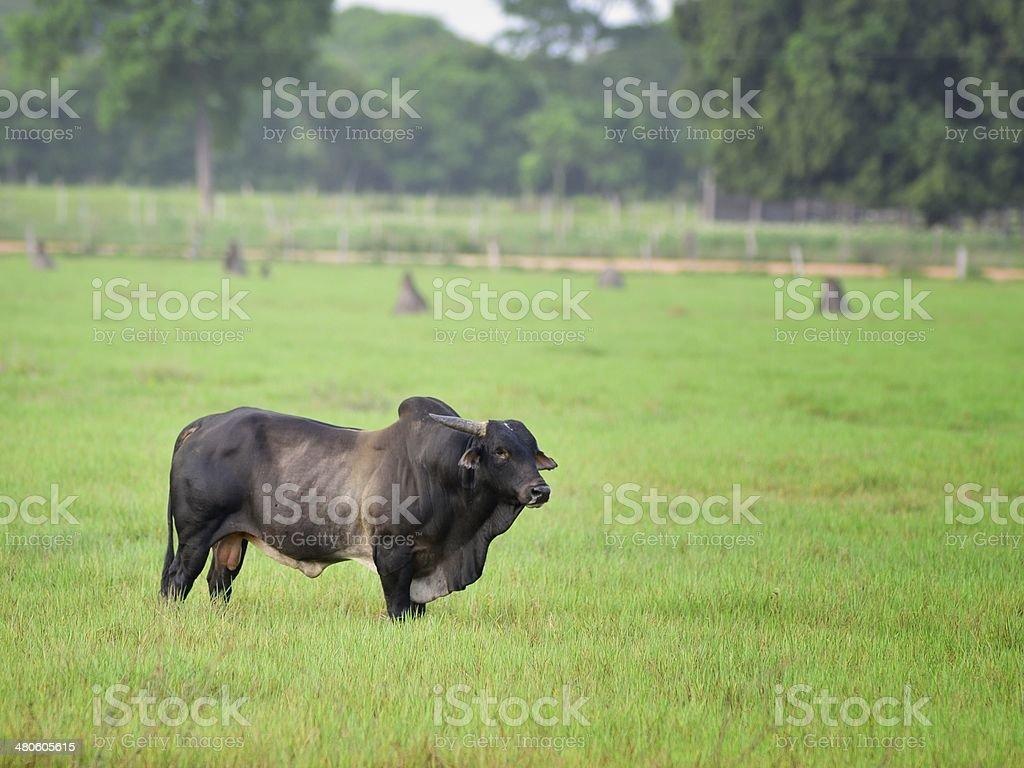 Brazilian Brahman Grazing stock photo