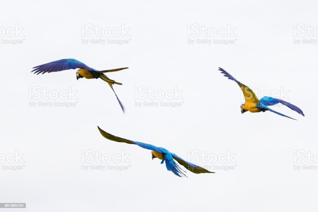 Brazilian Caninde Macaw flying- Mato Grosso State - Brazil royalty-free stock photo