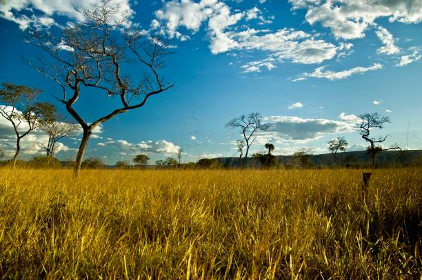 Brazilian Cerrado Twisted and smal trees in a typical field of the Brazilian cerrado goias stock pictures, royalty-free photos & images