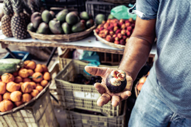 brazilian farmer holding mangosteen fruit in his hand stock photo