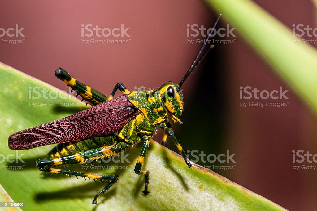 Brazilian Grasshopper stock photo