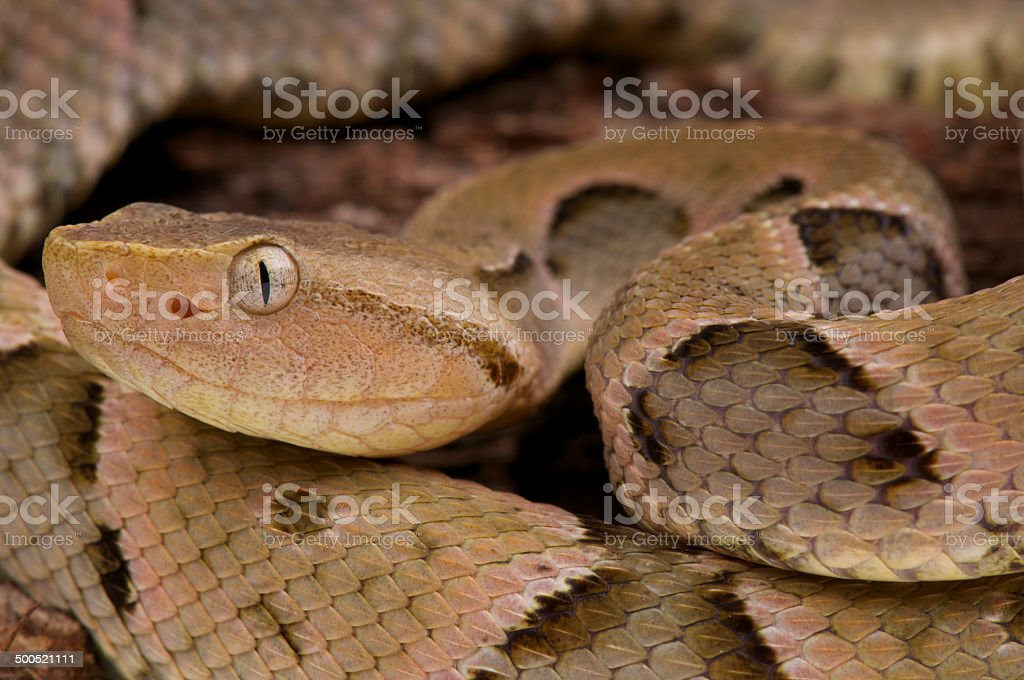Brazilian Lancehead / Bothrops moojeni stock photo