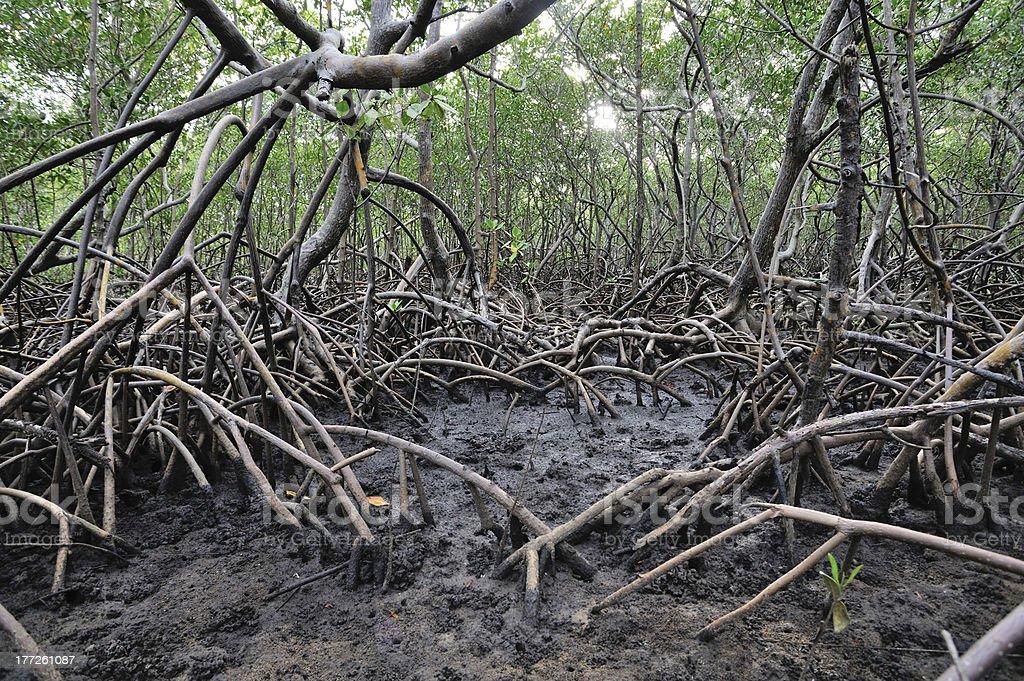 Brazilian mangrove forest stock photo