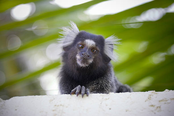 Brazilian marmoset monkey on tree branch A tufted-eared common Marmoset, Callithrix jacchus, sitting on a rain forest tree branch. common marmoset stock pictures, royalty-free photos & images