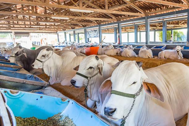 brazilian nelore elite cattle in a exposition park - allevatore foto e immagini stock