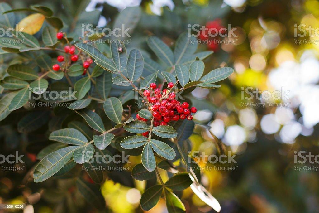 Poivre brésilien, aroeira, rose poivre, Christmasberry tree - Photo