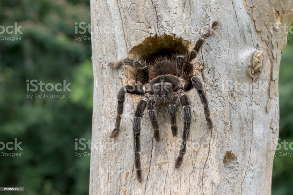Brazilian Salmon Pink Bird Eating Tarantula Spider (Lasiodora parahybana) Coming out of Bird Nest royalty-free stock photo