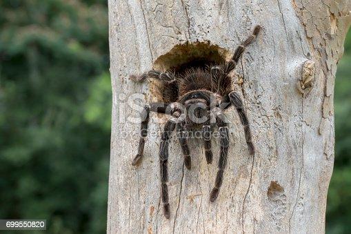 Brazilian Salmon Pink Bird Eating Tarantula Spider (Lasiodora parahybana) Coming out of Bird Nest