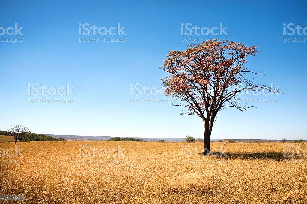 Brasileiro Savannah ou Cerrado árvore - foto de acervo