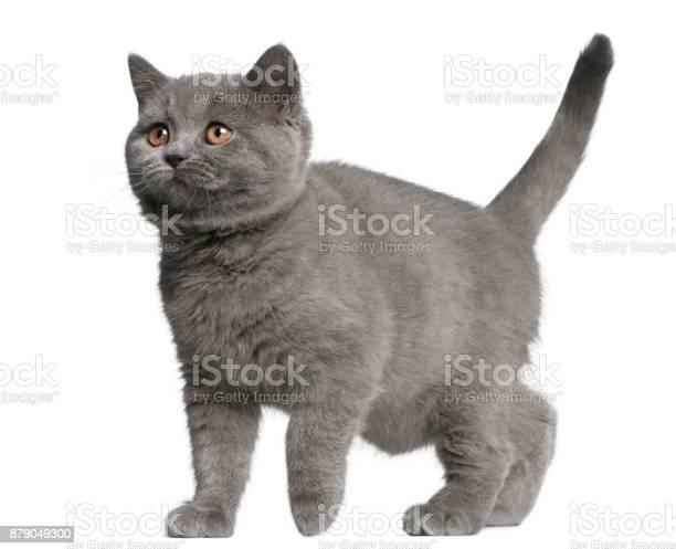Brazilian shorthair kitten 10 weeks old walking in front of white picture id879049300?b=1&k=6&m=879049300&s=612x612&h=4kxqevyuifq2yef2tojij0fvo0dd0djv4nyts9srpbo=
