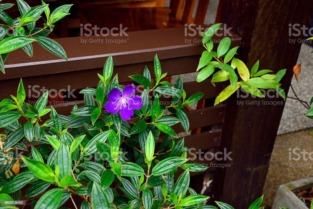 Brazilian spiderflower photo libre de droits