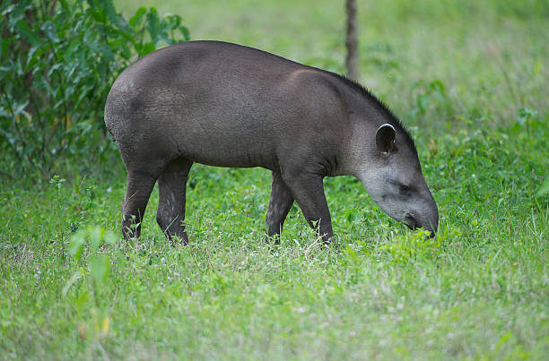 Brazilian Tapir stock photo