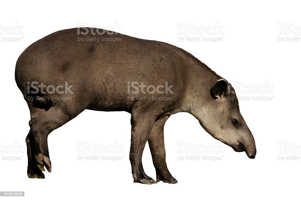 Brazilian tapir, Tapirus terrestris, stock photo