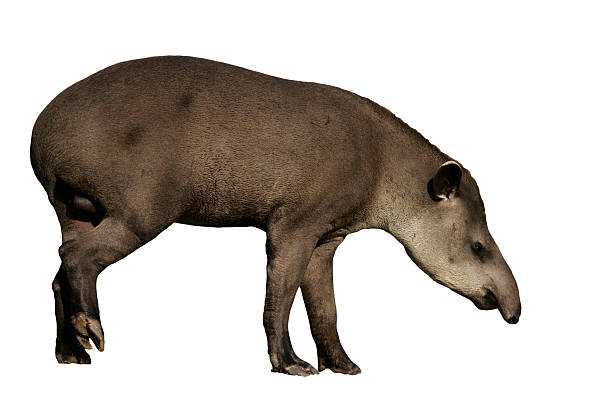Brazilian tapir, Tapirus terrestris, stock photo