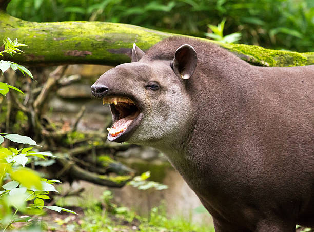 Brazilian tapir yawning stock photo