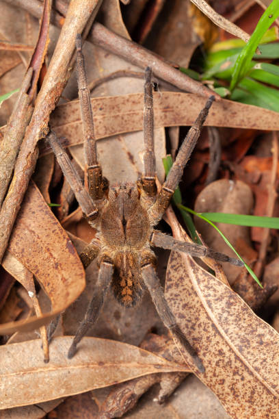 Brazilian wandering spider - danger poisonous Phoneutria Ctenidae stock photo