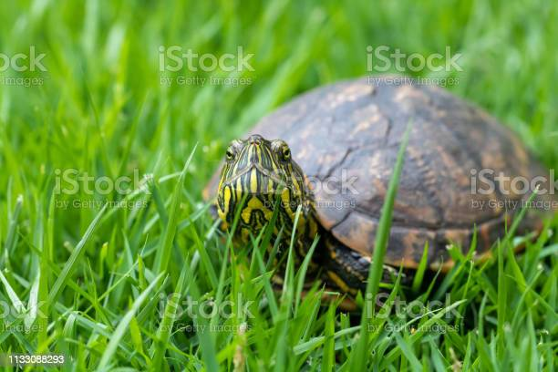 Brazilian water turtle walking on a green grass camouflaging picture id1133088293?b=1&k=6&m=1133088293&s=612x612&h=0kpgondp7warrdvwgmumagjmpedapsmcdfyzxgadzag=