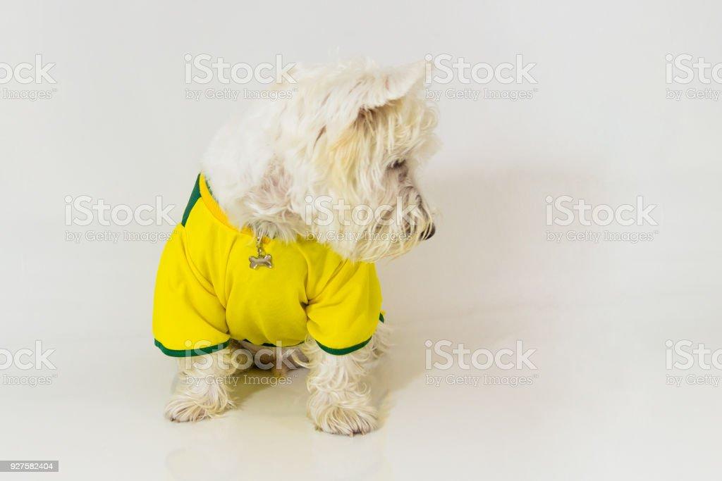West highland white terrier brasileiro olhando para baixo - foto de acervo