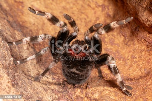 Brazilian White Knee Tarantula (Acanthoscurria geniculata) rears up in a defensive position