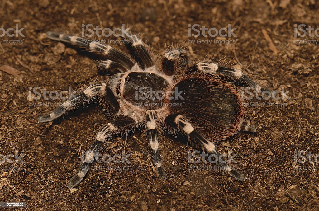 Brazilian White Stripe Tarantula stock photo