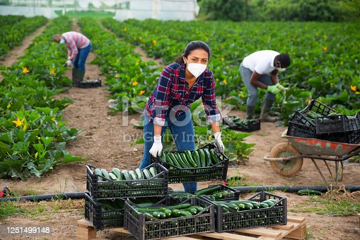 Brazilian woman in medical face mask working on farm field in spring day, harvesting organic zucchini. Concept of new life reality and precautions in coronavirus pandemic