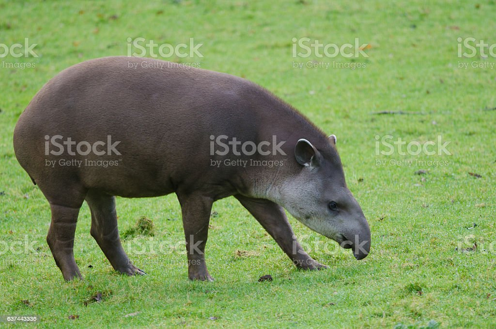 Brazillian Tapir royalty-free stock photo