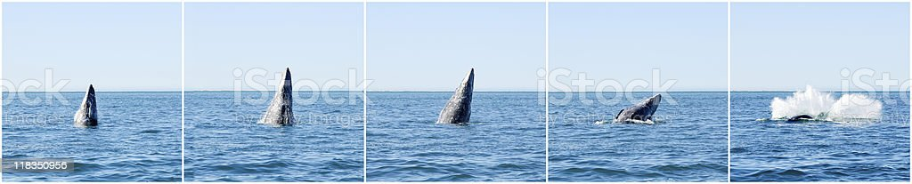 breaching grey whale whatching sequence stock photo