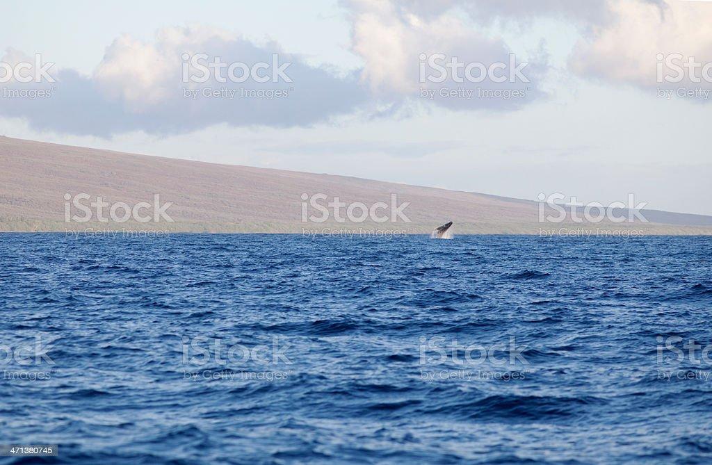 Breaching Humpback Whale Hawaii royalty-free stock photo
