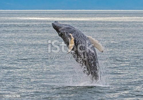 Breaching Humpback whale in Frederick Sound in South East Alaska. Megaptera novaeangliae.