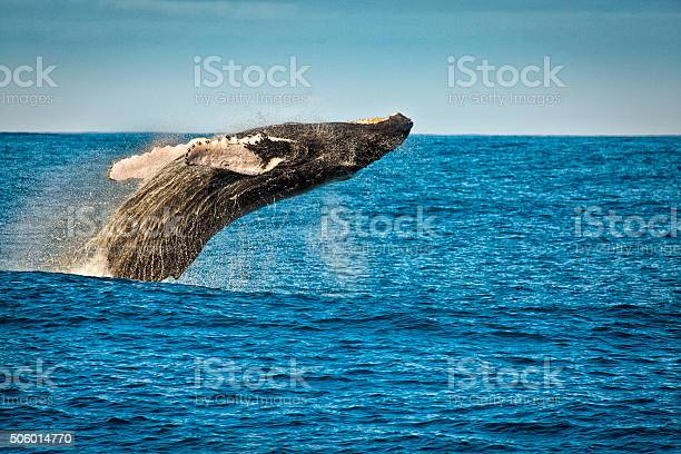 Breaching Humpback Whale In Kauai Hawaii Stock Photo - Download Image Now