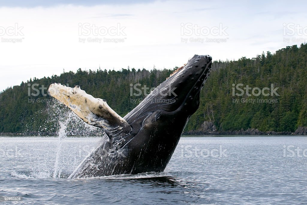 Breaching humpback whale with white pectoral fin Alaska royalty-free stock photo