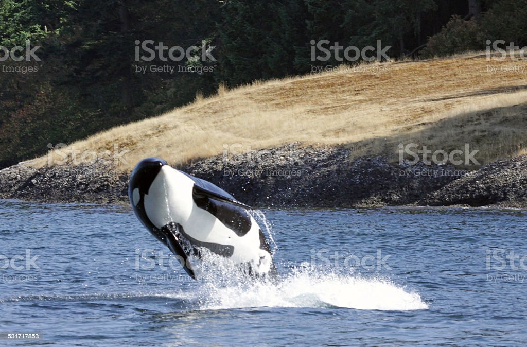 Breaching Killer Whale stock photo