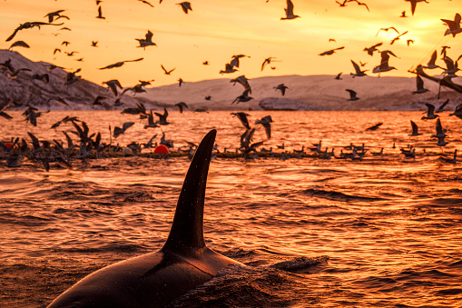 Breaching Orca and a flock of sea birds with beautiful golden sunset and snow covered mountains