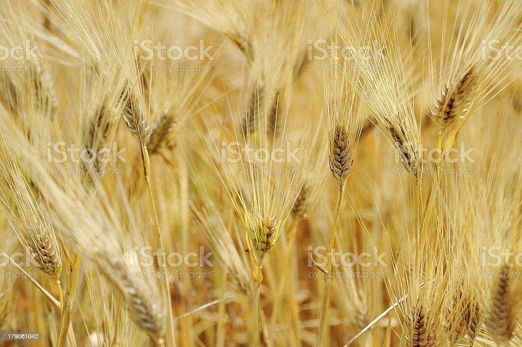 bread wheat harvest field corn ear royalty-free stock photo