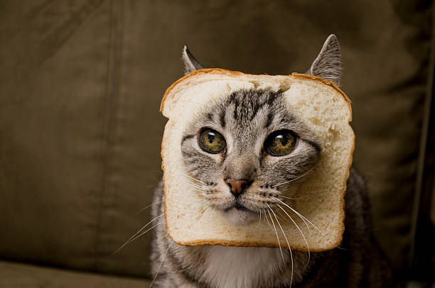 Breaded cat picture id177122792?b=1&k=6&m=177122792&s=612x612&w=0&h=y9wbv0oc8unfgdlkgx3o271el lhrl4hga0a iav lm=