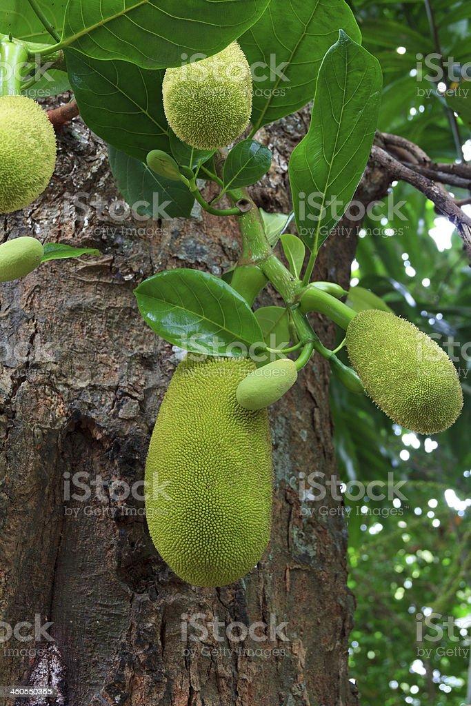 Breadfruit as a Exotic Fruit stock photo