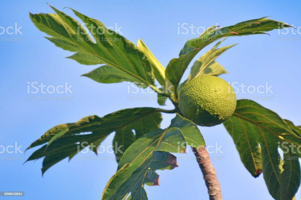 Breadfruit flowering tree in Rarotonga Cook Islands stock photo