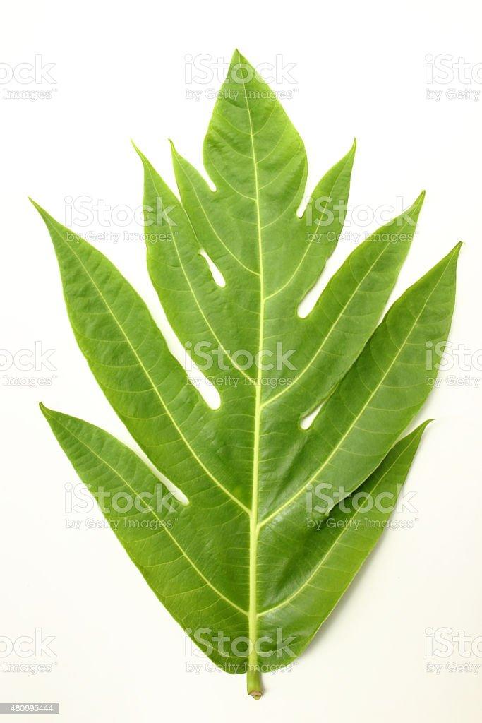 Breadfruit Leaf stock photo