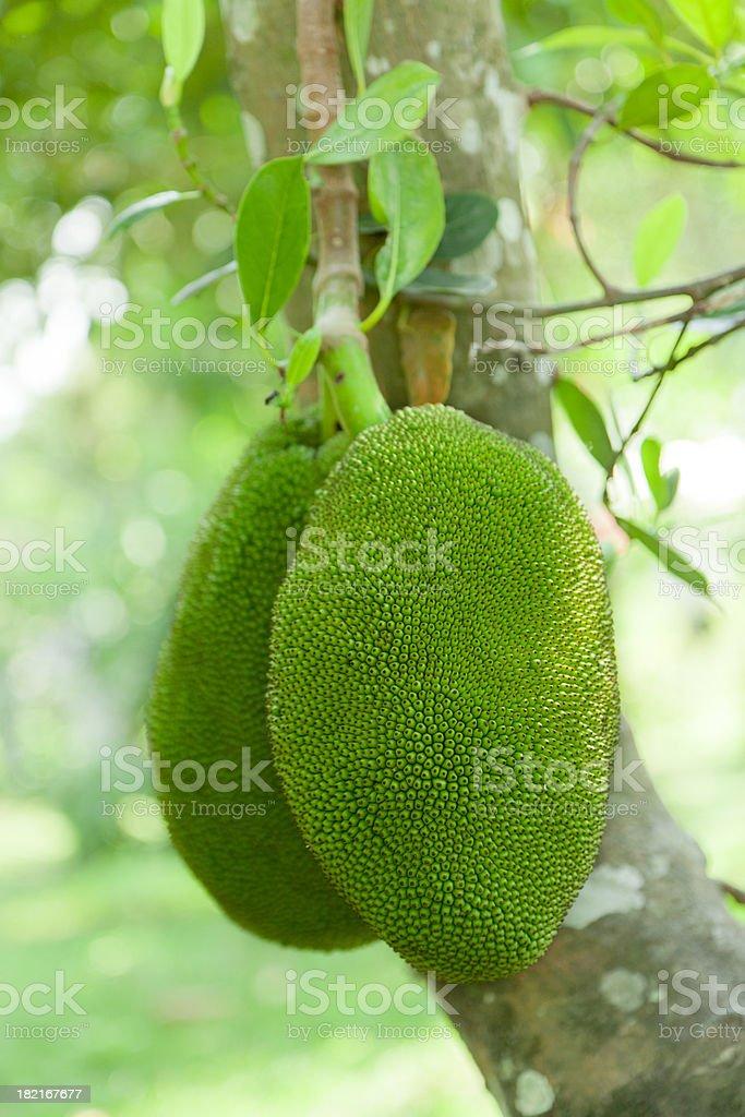 Breadfruit on Tree, Artocarpus Altilis, Tropical royalty-free stock photo
