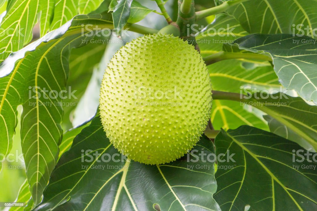 Breadfruit on Tree Green Fruit in Forest Jungle stock photo