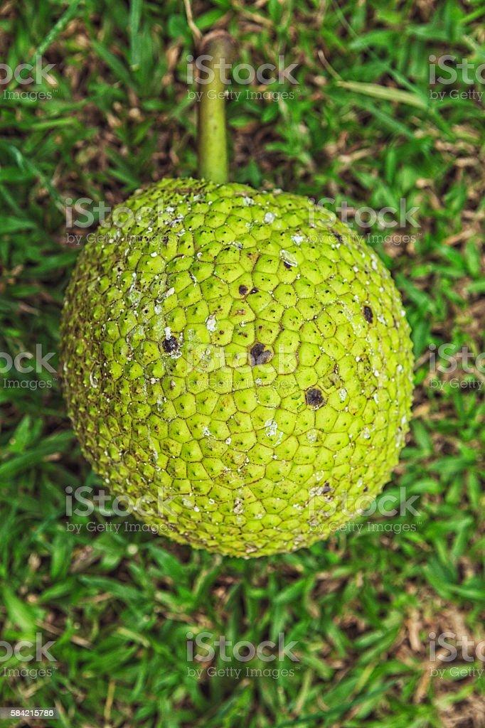 Breadfruit or Jackfruit stock photo